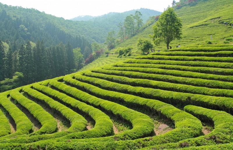 Чайные плантации краснодарского края, фото 5324398